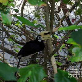 Oriental Pied Hornbills sighted
