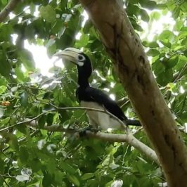 Oriental Pied Hornbill and Pink-necked Green-pigeon feeding on figs