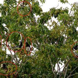 Oriental Pied Hornbill locking bills