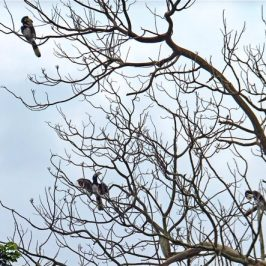 Hornbills at Lily Avenue, Singapore