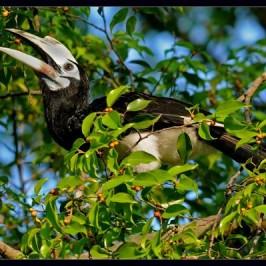 Oriental Pied Hornbills at Singapore's Chinese Garden