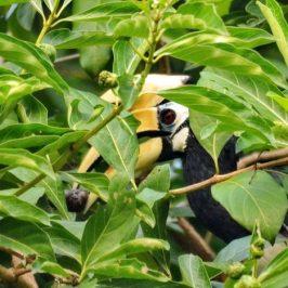 Oriental Pied Hornbill – courtship feeding, <em>Morinda citrifolia</em> fruit