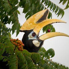 Oriental Pied Hornbill eats <em>Murraya koenigii</em> fruits