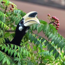 Oriental Pied Hornbill and <em>Murraya koenigii</em> fruits