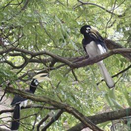 Oriental Pied Hornbills in home garden