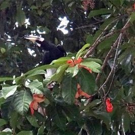 Oriental Pied Hornbill and <em>Sterculia</em> fruits