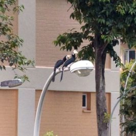 Oriental Pied Hornbill sighted in Sin Ming Avenue, Singapore