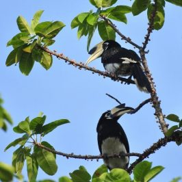 ORIENTAL PIED HORNBILLS – AFFECTIONATE BEHAVIOUR