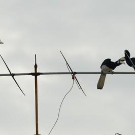 Oriental Pied Hornbills at Farrer Drive