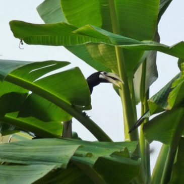 Oriental Pied Hornbills are checking on the banana plants yet again…