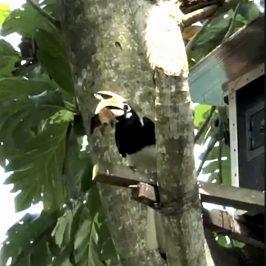 Oriental Pied Hornbill brings home a bat…