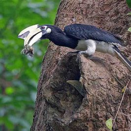 Luring the hornbill chick out of the nest