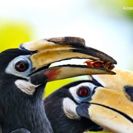 Oriental Pied Hornbill – possible co-operative breeding