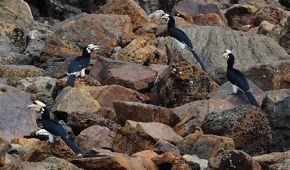 Oriental Pied Hornbill eating crabs