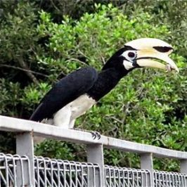 Oriental Pied Hornbill eating tree-climbing crab