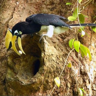 Male Oriental Pied Hornbill brought an egg for the breeding female