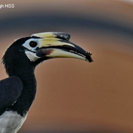 Oriental Pied Hornbill – female to male courtship feeding