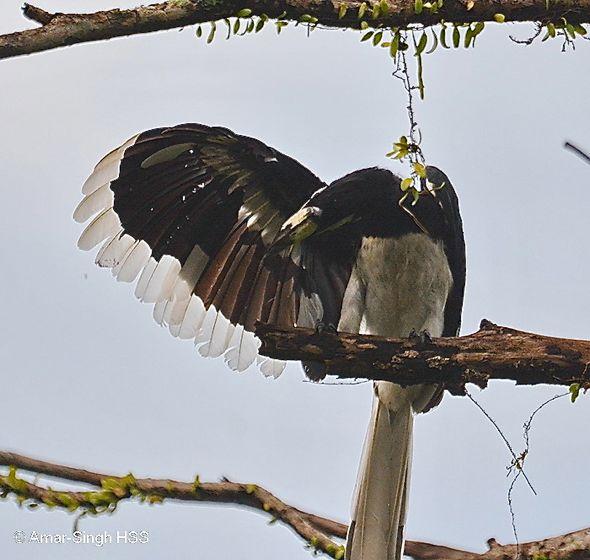 Oriental Pied Hornbills preening
