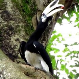 Male Oriental Pied Hornbill at the nesting hole