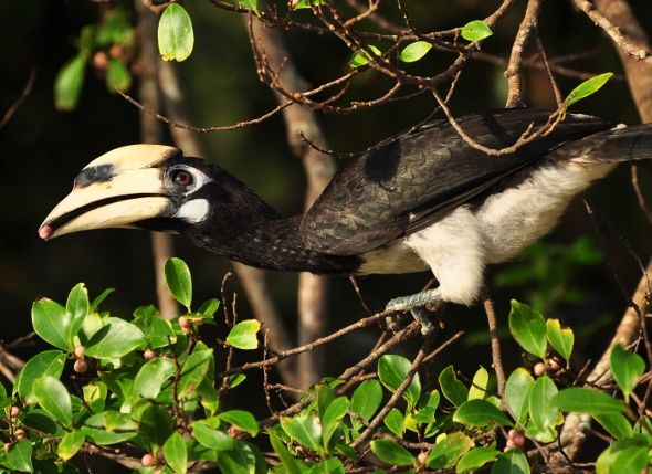 Oriental Pied Hornbills and the foods they take