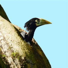 Oriental Pied Hornbill fledges at Changi Village