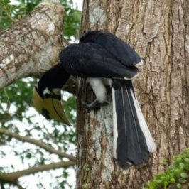 Oriental Pied Hornbill foraging like a woodpecker
