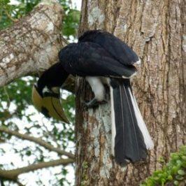 Oriental Pied Hornbill foraging like a woodpecker
