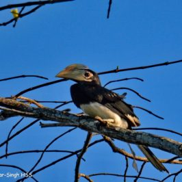 Oriental Pied Hornbill – family unit and calls