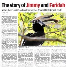 Farewell to Faridah & Jimmy: Killing of an Oriental Pied Hornbill