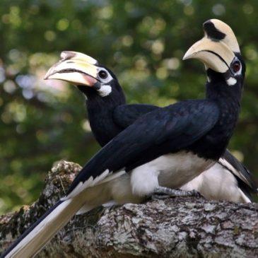 Oriental Pied Hornbill: Female feeding male