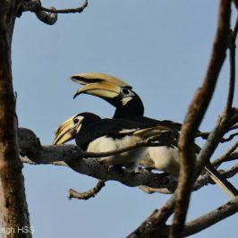 Oriental Pied Hornbill mating