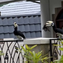 Oriental Pied Hornbill caught a myna