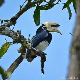 Oriental Pied Hornbill nesting