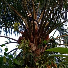 Oriental Pied Hornbills at Pasir Ris, Singapore