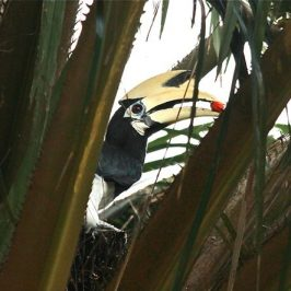 Oriental Pied Hornbill – Courtship Feeding on Oil Palm fruits