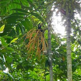 Hornbills and palm fruits