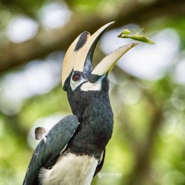 Oriental Pied Hornbill catches a praying mantis