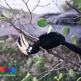 Oriental Pied Hornbill feeding on pupa