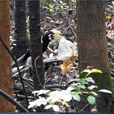 Oriental Pied Hornbills picking trash