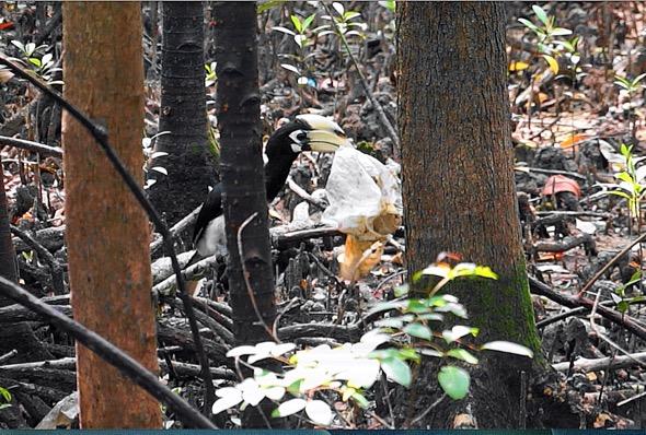 Oriental Pied Hornbill picking trash