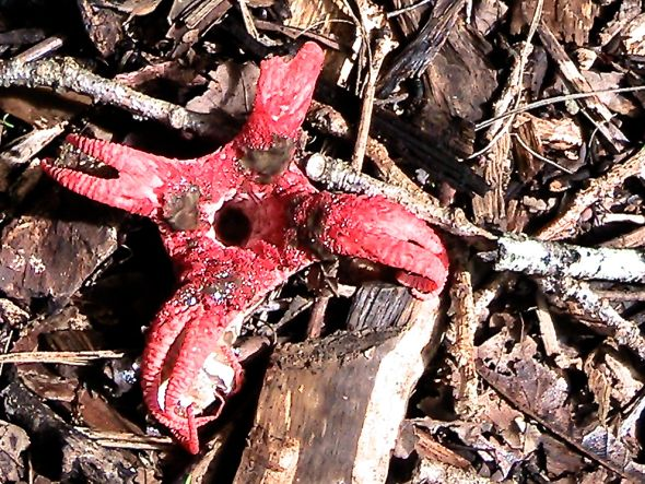 Octopus Stinkhorn fungus