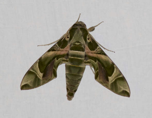 Newly eclosed Oleander Hawkmoth attracts males