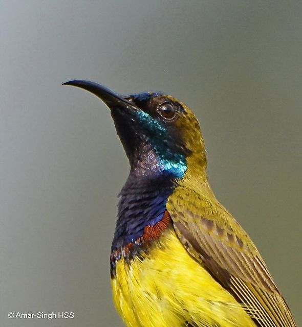 Olive-backed Sunbird – extra metallic plumage