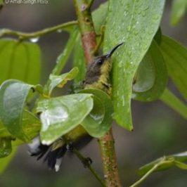 Olive-backed Sunbird taking a leaf bath