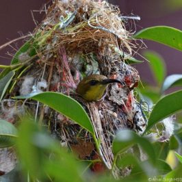 Olive-backed Sunbird nest building