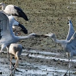 Asian Openbill  – intraspecific aggression
