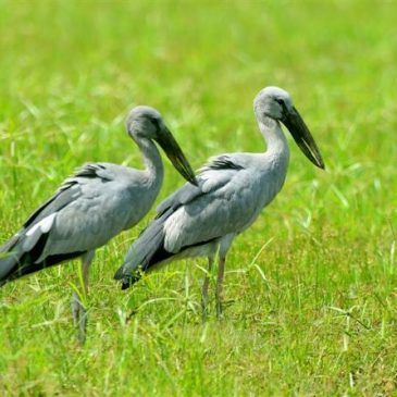 A phalanx of Asian Openbills arrived in Singapore