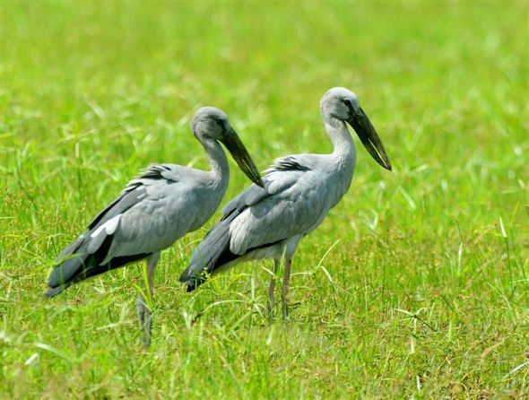 Asian Openbill migrating south