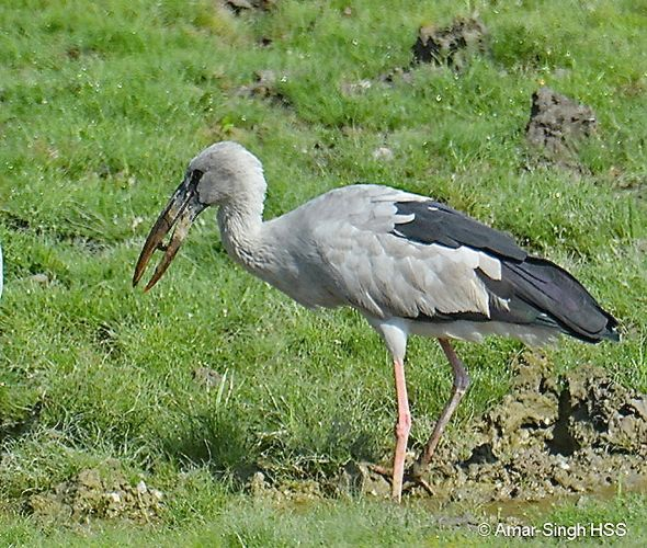 Asian Openbill – other prey consumed