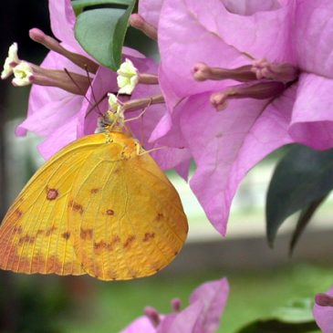 More butterflies visiting bougainvillea – Orange Emigrant and Common Mime